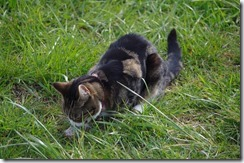 05 20150410 Daisy on the hunt for mice. Abbecourt. C lat a l'Oise